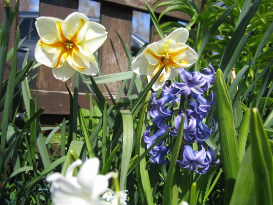 Hyacint och Narcisser Narcisser och Hyacinter hör ju ihop.&nbsp 2014-04-20 IMG_0014 Granudden Färjestaden Öland