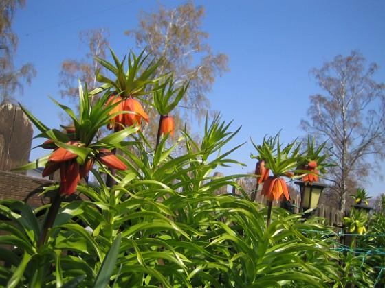 Kejsarkrona - Fritilaria Imperialis Lite röda Kejsarkronor som börjat slå ut. Det är märkligt egentligen för jag får bara blommor på max hälften av mina Kejsarkronor.&nbsp 2014-04-20 IMG_0015 Granudden Färjestaden Öland