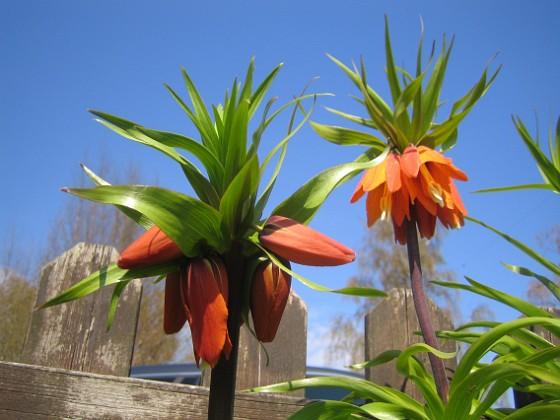 Kejsarkrona - Fritilaria Imperialis &nbsp 2014-04-20 IMG_0025 Granudden Färjestaden Öland