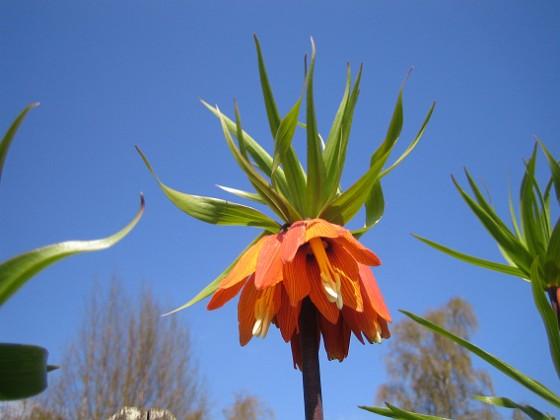 Kejsarkrona - Fritilaria Imperialis &nbsp 2014-04-20 IMG_0028 Granudden Färjestaden Öland