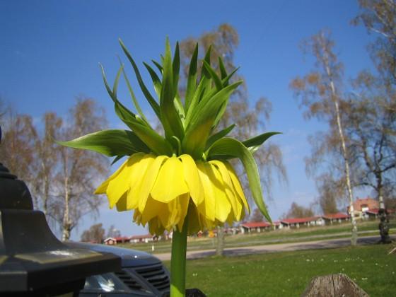 Kejsarkrona - Fritilaria Imperialis &nbsp 2014-04-20 IMG_0042 Granudden Färjestaden Öland