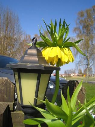 Kejsarkrona - Fritilaria Imperialis  2014-04-20 IMG_0046 Granudden Färjestaden Öland