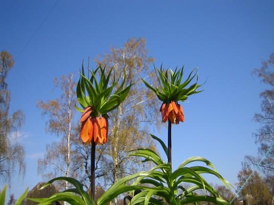 Kejsarkrona - Fritilaria Imperialis &nbsp 2014-04-20 IMG_0057 Granudden Färjestaden Öland