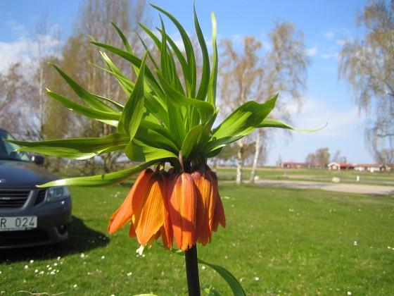 Kejsarkrona - Fritilaria Imperialis &nbsp 2014-04-20 IMG_0058 Granudden Färjestaden Öland
