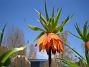 Kejsarkrona - Fritilaria Imperialis  2014-04-20 IMG_0023