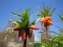 Kejsarkrona - Fritilaria Imperialis  2014-04-20 IMG_0025
