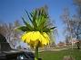 Kejsarkrona - Fritilaria Imperialis  2014-04-20 IMG_0042