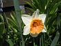 Narciss  2014-04-20 IMG_0048