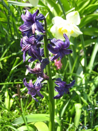 Hyacint  2014-04-29 IMG_0020 Granudden Färjestaden Öland