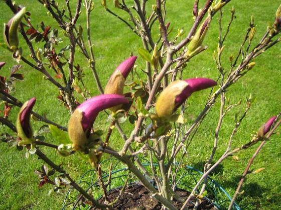 Magnolia &nbsp 2014-04-29 IMG_0045 Granudden Färjestaden Öland