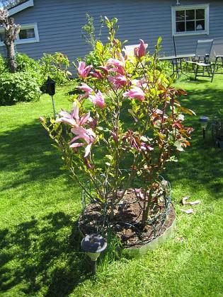 Magnolia &nbsp 2014-05-17 IMG_0030 Granudden Färjestaden Öland
