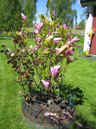 Magnolia  2014-05-17 IMG_0034 Granudden Färjestaden Öland