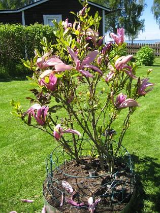 Magnolia &nbsp 2014-05-17 IMG_0035 Granudden Färjestaden Öland
