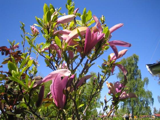 Magnolia &nbsp 2014-05-17 IMG_0037 Granudden Färjestaden Öland