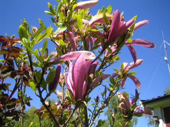 Magnolia &nbsp 2014-05-17 IMG_0041 Granudden Färjestaden Öland