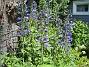 Trädgårdsriddarsporre  2014-06-18 IMG_0017