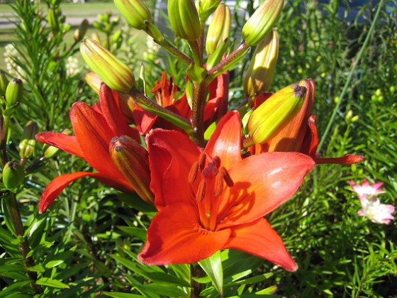 Liljor Dessa röda Liljor har jag massor av och de förökar sig lätt.&nbsp 2014-06-27 IMG_0023 Granudden Färjestaden Öland