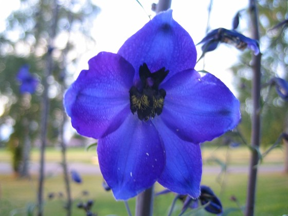 Riddarsporre En Trädgårdsriddarsporre i närbild. 2014-06-27 IMG_0035 Granudden Färjestaden Öland