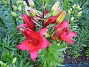 Liljor De första röda Liljorna som slagit ut detta år. Fotograferade i mulet väder. 2014-06-27 IMG_0001