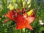 Dessa röda Liljor har jag massor av och de förökar sig lätt. (2014-06-27 IMG_0023)