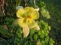 Akleja Samma blomma fotograferad i samma kvällssol fast framifrån. 2014-06-27 IMG_0028