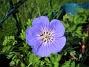 Trädgårdsnäva  2014-07-02 IMG_0002