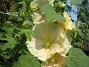 Stockros Alcea  Ficifolia 2014-07-06 IMG_0036