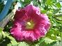 Flerårig Stockros Alcea Rosea Ficifolia 2014-07-06 IMG_0038