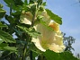 Stockros Alcea Rosea Ficifolia 2014-07-06 IMG_0041