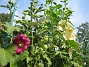 Stockros Alcea Rosea Ficifolia 2014-07-06 IMG_0042