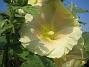 Stockros Alcea Ficifolia 2014-07-06 IMG_0065