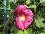 Stockros Alcea Ficifolia 2014-07-06 IMG_0067