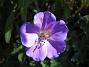 Trädgårdsnäva  2014-07-09 IMG_0032