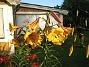 Trumpetlilja  2014-07-21 IMG_0010