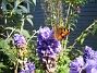 Fjäril på Riddarsporre  2014-07-22 IMG_0003