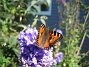 Fjäril på Riddarsporre  2014-07-22 IMG_0005