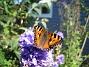 Fjäril på Riddarsporre  2014-07-22 IMG_0006