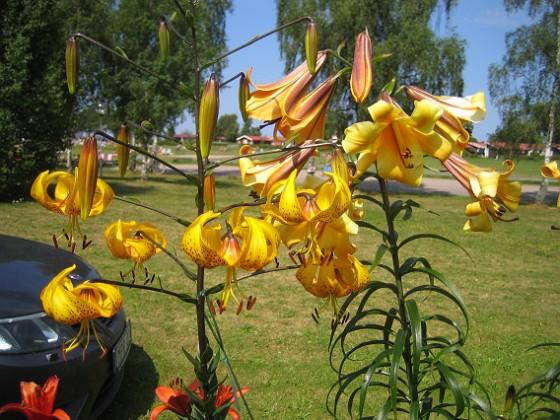 Trumpetlilja & Tigerlilja &nbsp 2014-07-24 IMG_0022 Granudden Färjestaden Öland