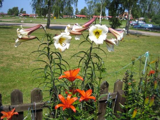 Trumpetlilja &nbsp 2014-07-24 IMG_0023 Granudden Färjestaden Öland