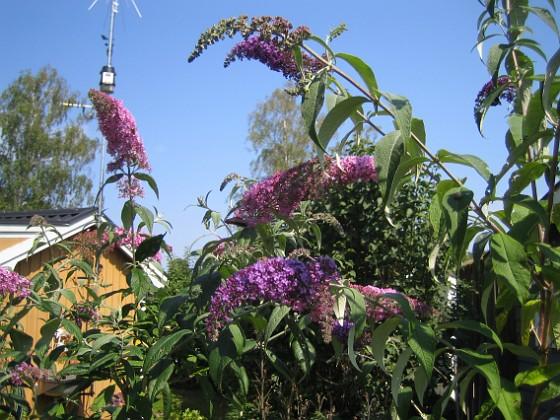 Fjärilsbuskar  2014-07-26 IMG_0005 Granudden Färjestaden Öland