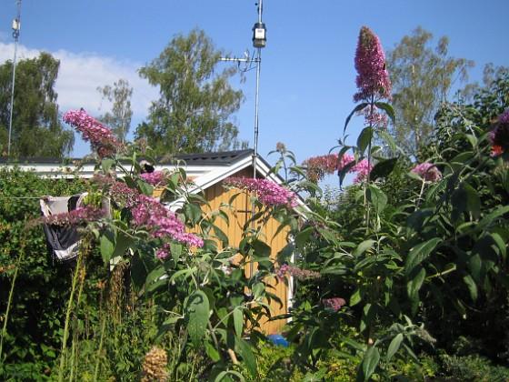 Fjärilsbuskar  2014-07-26 IMG_0006 Granudden Färjestaden Öland