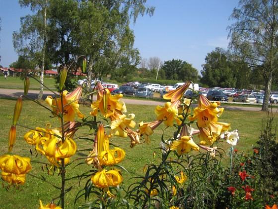 Liljor  2014-07-26 IMG_0018 Granudden Färjestaden Öland