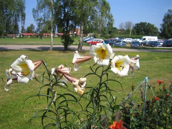 Liljor  2014-07-26 IMG_0019 Granudden Färjestaden Öland