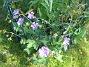Trädgårdsnäva  2014-07-26 IMG_0032
