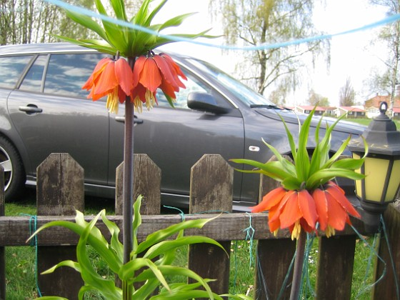 Kejsarkrona Fritilaria Imperialis&nbsp 2015-04-26 IMG_0002 Granudden Färjestaden Öland