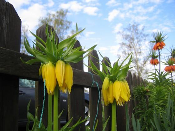 Kejsarkrona Fritilaria Imperialis&nbsp 2015-04-26 IMG_0004 Granudden Färjestaden Öland