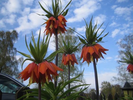 Kejsarkrona Fritilaria Imperialis&nbsp 2015-04-26 IMG_0005 Granudden Färjestaden Öland