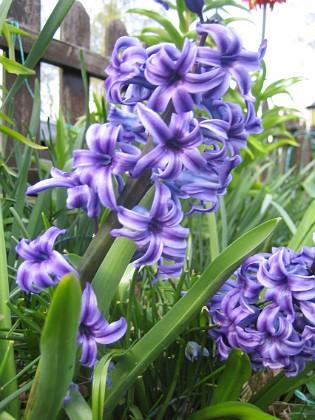 Hyacint &nbsp 2015-04-26 IMG_0008 Granudden Färjestaden Öland