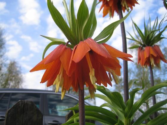 Kejsarkrona Fritilaria Imperialis&nbsp 2015-04-26 IMG_0010 Granudden Färjestaden Öland