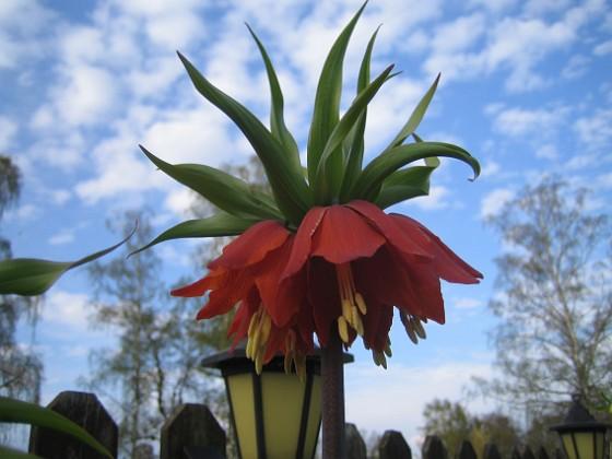Kejsarkrona Fritilaria Imperialis 2015-04-26 IMG_0013 Granudden Färjestaden Öland